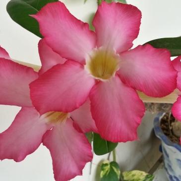 富贵花 - Many blossoms greet us every morning!
