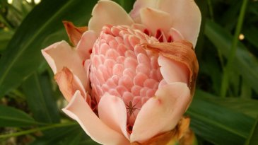Pink Torch Ginger Flower, photo taken by Timotheus - SEO Expert in Singapore