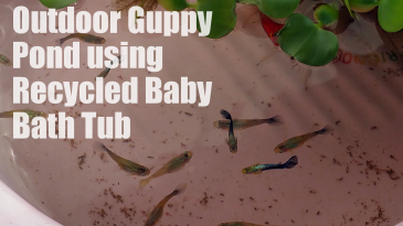 Recycle Baby Bath Tub to Outdoor Guppy Pond